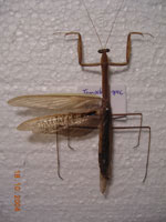preparated <i>Tenodera spec.</i> (Thailand)